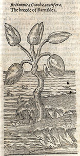 John Gerard's Herball (1597). The Barnacle Tree